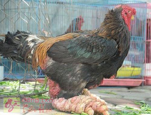 Giống gà quý hiếm thuần chủng tại trại gà Kiều Hoa