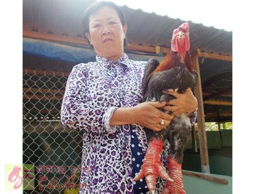 Gà Đông Tảo của Cô Hoa chăm sóc
