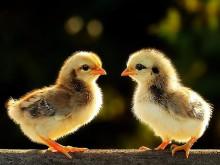 Xác Định Gà Con Mới Bóc Trứng Là Trống Hay Mái