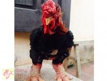 Mua gà Đông Tảo giống