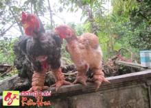 Bán gà Đông Tảo giống