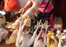 Phát hoảng gà Đông Tảo từ gà thải loại