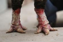 Gà chân to khủng biếu tiền triệu cháy hàng