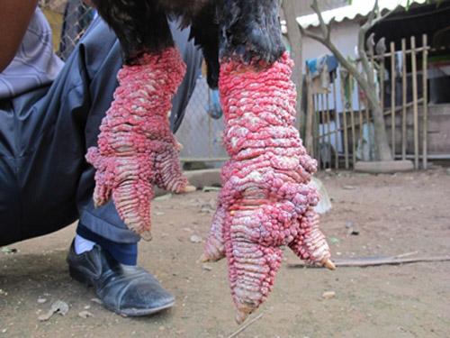 Cơn sốt gà Đông Tảo