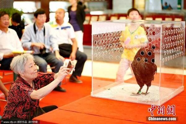Cuộc thi sắc đẹp dành cho gà 02