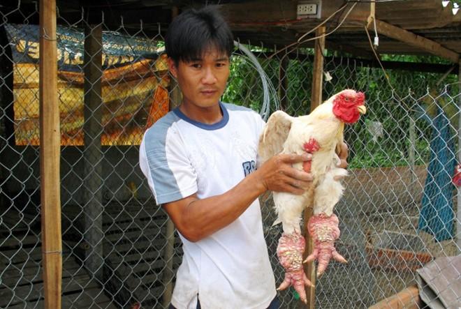 Lời hơn nửa tỷ đồng từ trang trại Gà Đông Tảo ở Cần Thơ