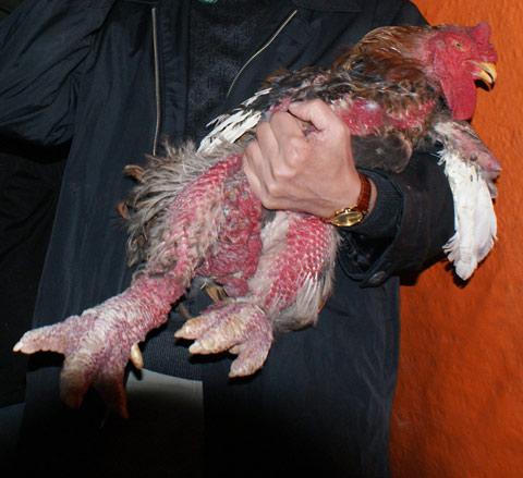 Mua gà Đông Cảo ăn tết