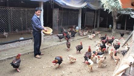 Triệu phú nuôi gà Đông Tảo