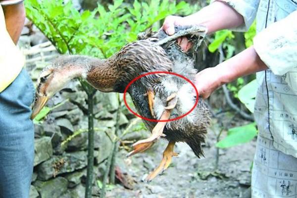 Xuất hiện chú vịt 4 chân mọc 2 chi thừa dưới cánh