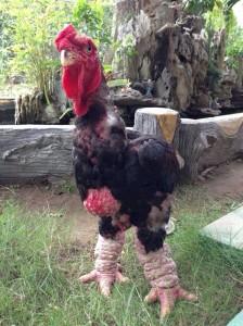 Gà Đông Tảo 120.000đ/1 con gà 1 ngày tuổi | Trại Gà Kiều Hoa